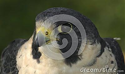 Peregrine Falcon Head & Shoulders