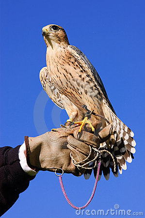 Free Peregrine Falcon On Glove Royalty Free Stock Photo - 16039795