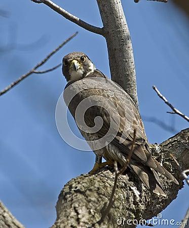 Free Peregrine Falcon On Tree Branch Stock Image - 8927331
