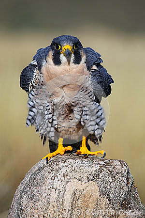 Free Peregrine Falcon Sitting On A Rock Royalty Free Stock Photography - 45963197