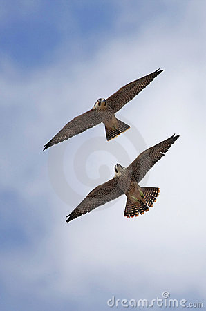 Free Peregrine Falcons Riding The Thermals Stock Photo - 14823140