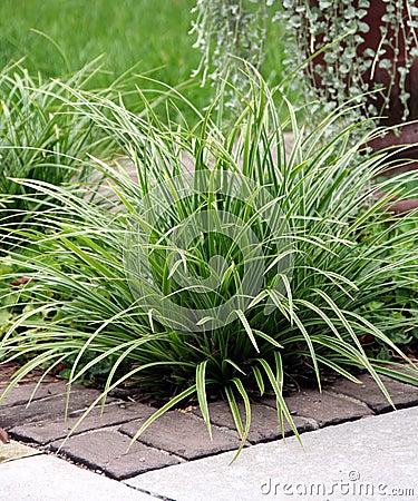 Perennial травы