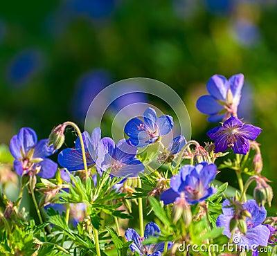 Free Perennial Geraniums Royalty Free Stock Photo - 51608535