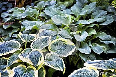 Perennial Hosta