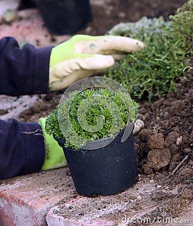 Perennial plants planting
