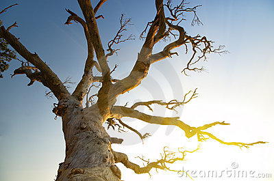 Perennial tree