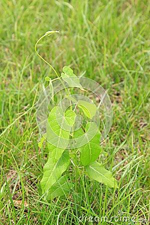 Perennial twining herbs ricinus communis