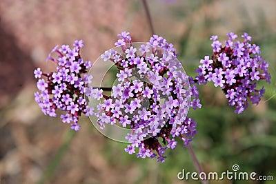 Perennial Verbena bonariensis in flower