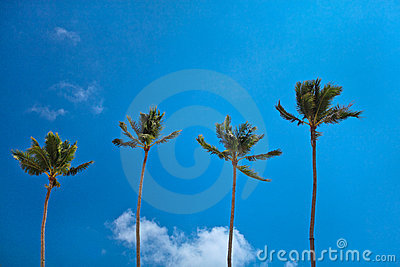 Perfect paradise coconut palm trees