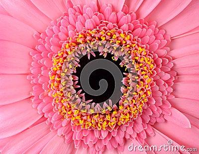 Perfect Pink Gerbera Marigold  Flower Macro