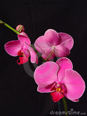 Free Perfect Pink Orchids Stock Images - 139024