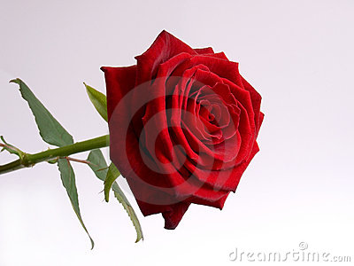 Perfect Rose. Isolated and Cleaned.