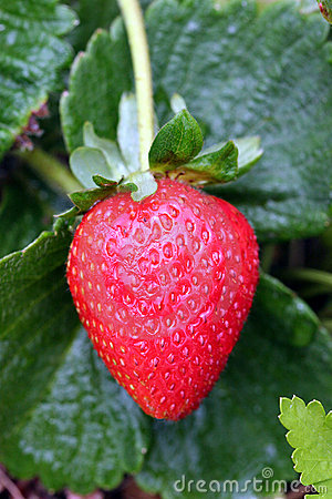 Free Perfect Strawberry Stock Images - 4890544