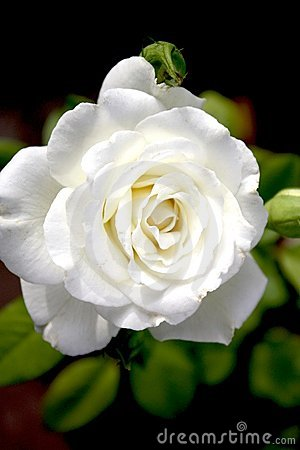 Perfect White Rose