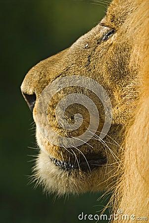Perfil de un león masculino
