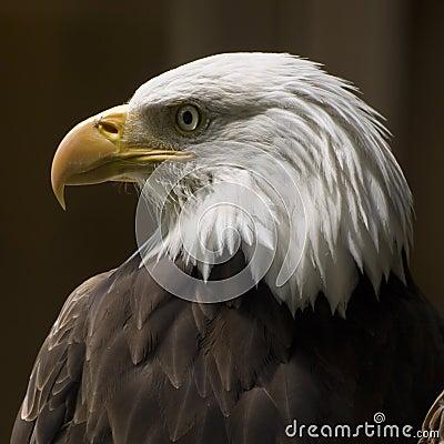 Perfil del águila calva