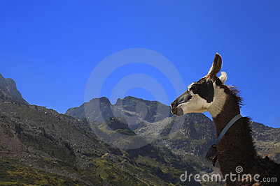 Perfil del lama y montañas de Pyrenees