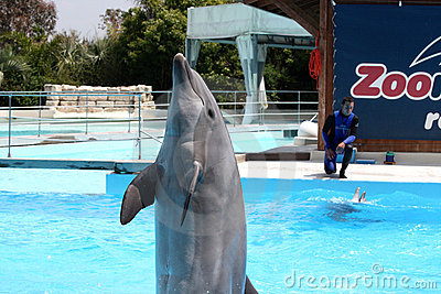 Performance With Dolphins At Zoomarine-EDITORIAL Editorial Photo