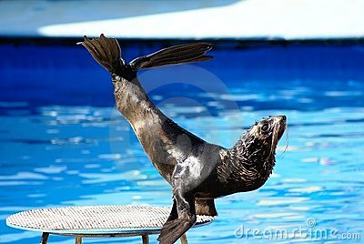 Performance of sea-bear sea-lion
