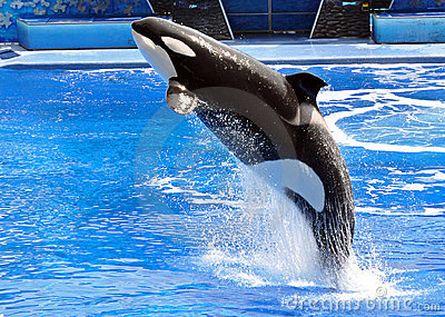 Performing Killer Whale (Orca)