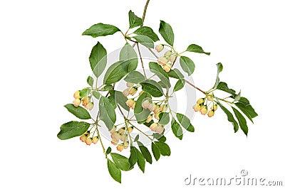 Pergoda bush