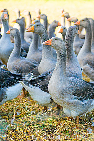 Free Perigord Geese Stock Photos - 10358343