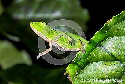 Perinet chameleon, andasibe