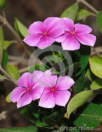 Free Periwinkle Stock Photography - 9996612