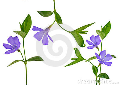 Periwinkle isolated