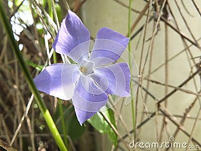 Periwinkle purple flower