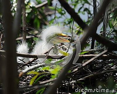 Perky Egret Chick