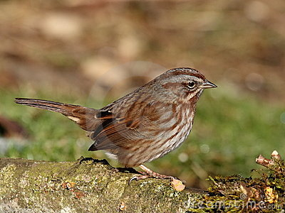 Perky Song Sparrow