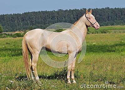 Perlino Pferd