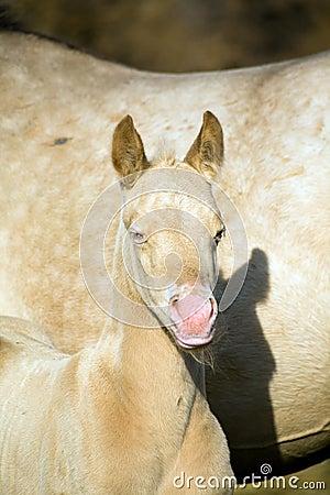 Perlino quarter horse