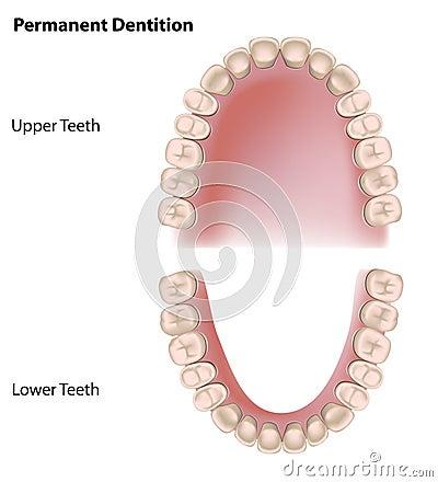 Free Permanent Teeth Stock Photos - 24176753