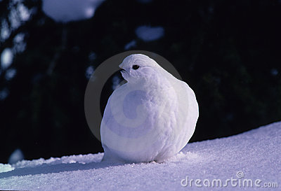 Pernice bianca