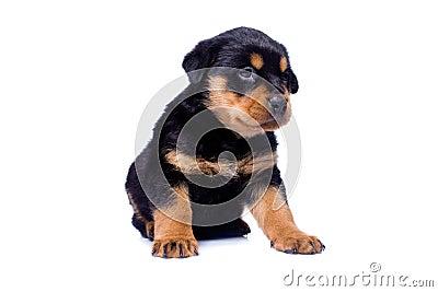 Perrito de Rottweiler