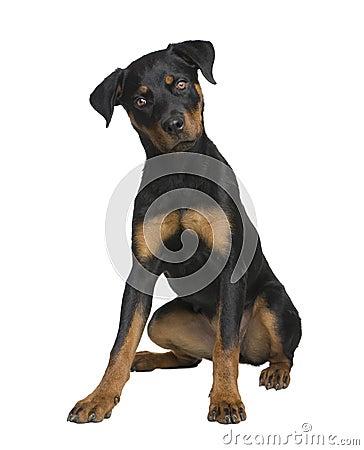 Perrito de Rottweiler (6 meses)