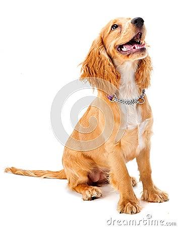 Perrito del perro de aguas de cocker