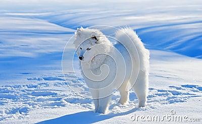 Perrito del perro del samoyedo