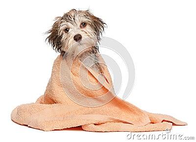 Perrito havanese del chocolate mojado después del baño