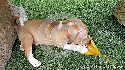 Perrito marrón travieso que juega la hoja amarilla en yarda verde almacen de video