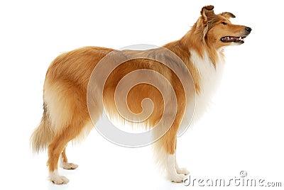 Perro áspero del collie