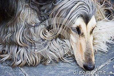 Perro afgano