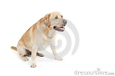 Descarga amarilla en el pene del perro