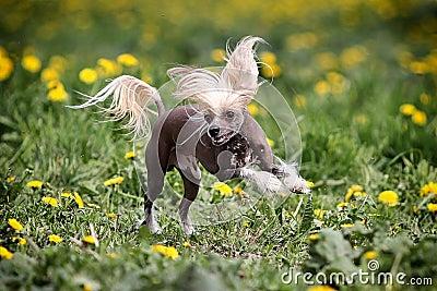 Perro con cresta chino