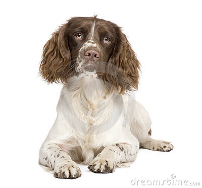 Perro de aguas de saltador inglés (10 meses)