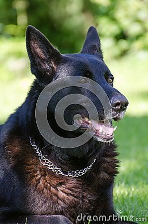 Perro de pastor al aire libre.