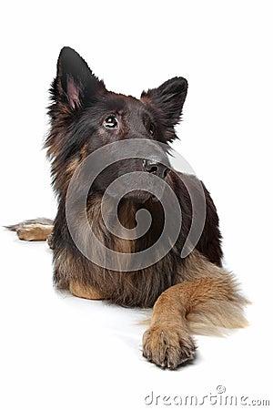 Perro de pastor alemán viejo