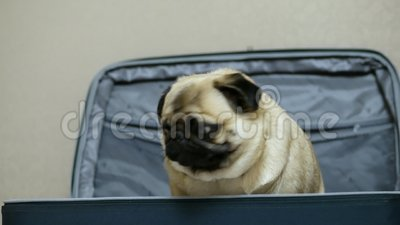 Perro de pug gracioso, escondido y sentado en la maleta, el dueño abre la maleta y el perro saca fuera metrajes